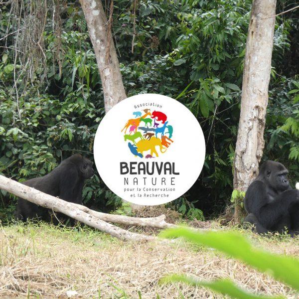 Gorilles réintroduits – Les roucoulades de Djongo et Mayombé - ZooParc de Beauval