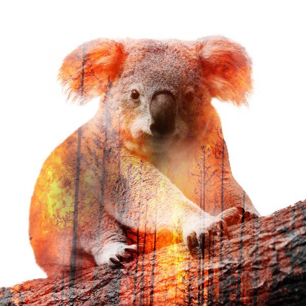 Incendies en Australie : la biodiversité menacée comme jamais