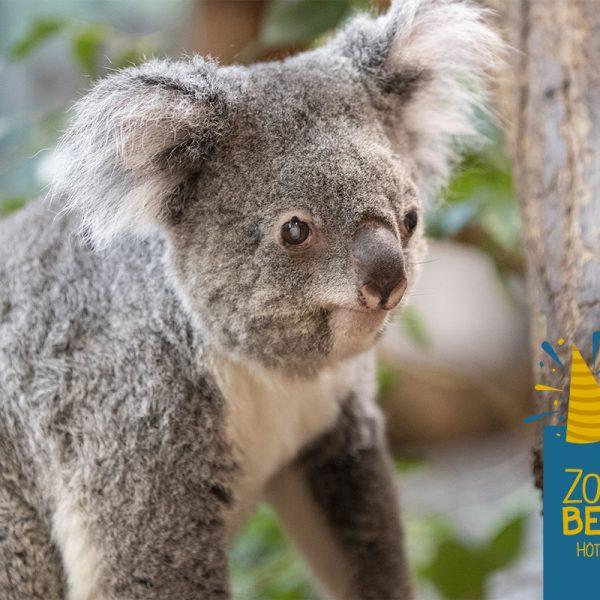 Bon anniversaire Alguna ! - ZooParc de Beauval