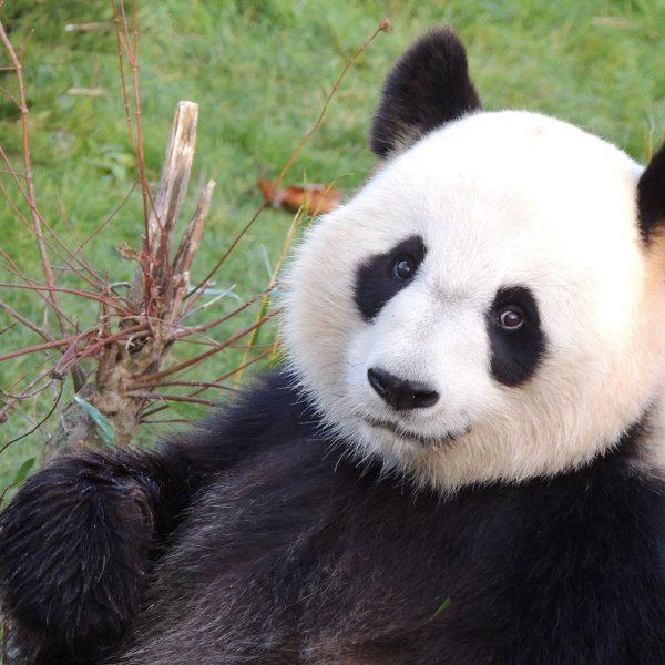 Pas de bébé panda… pour l'instant ! - ZooParc de Beauval