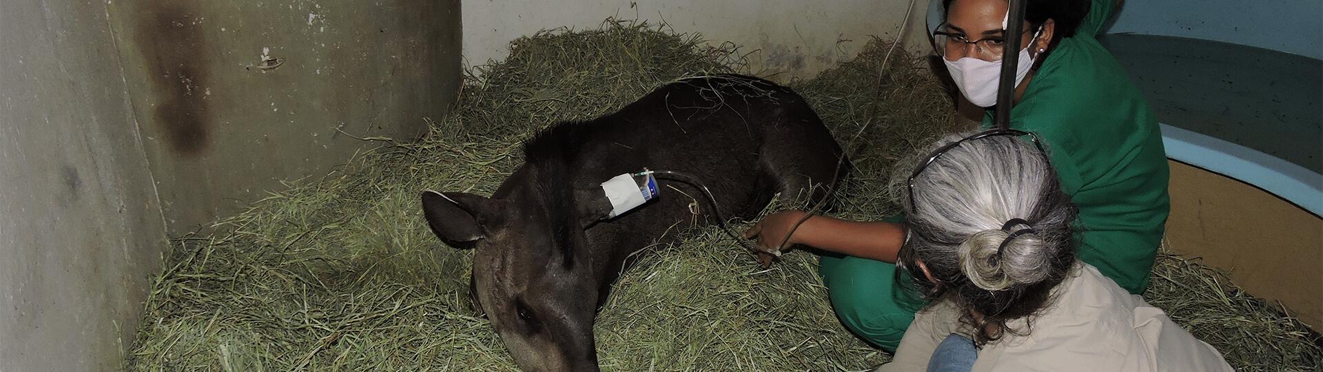sauvetage tapirs