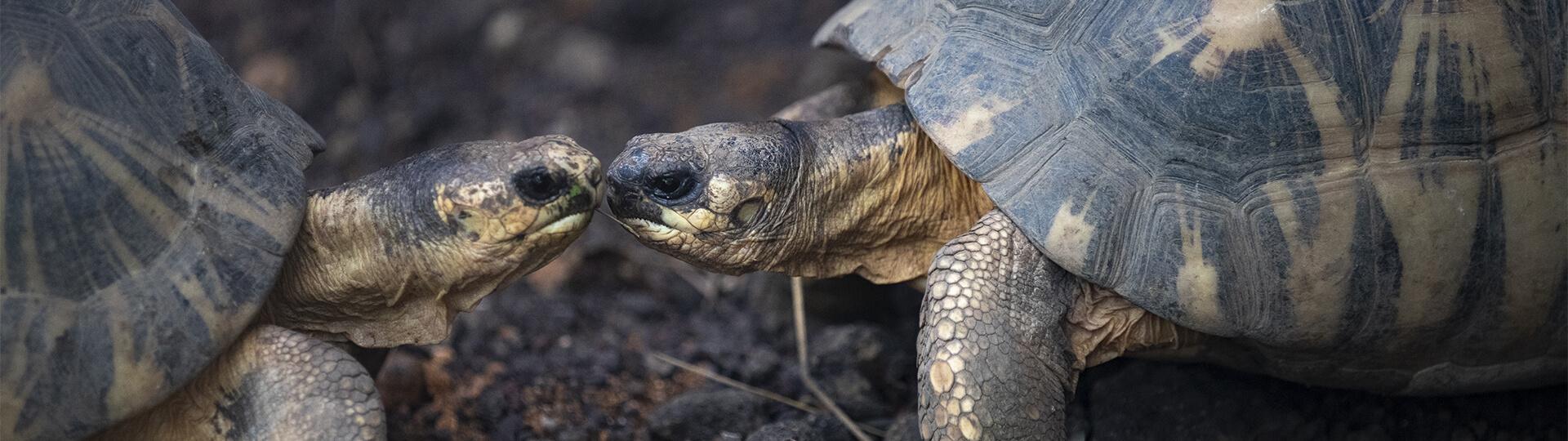 tortues radiées