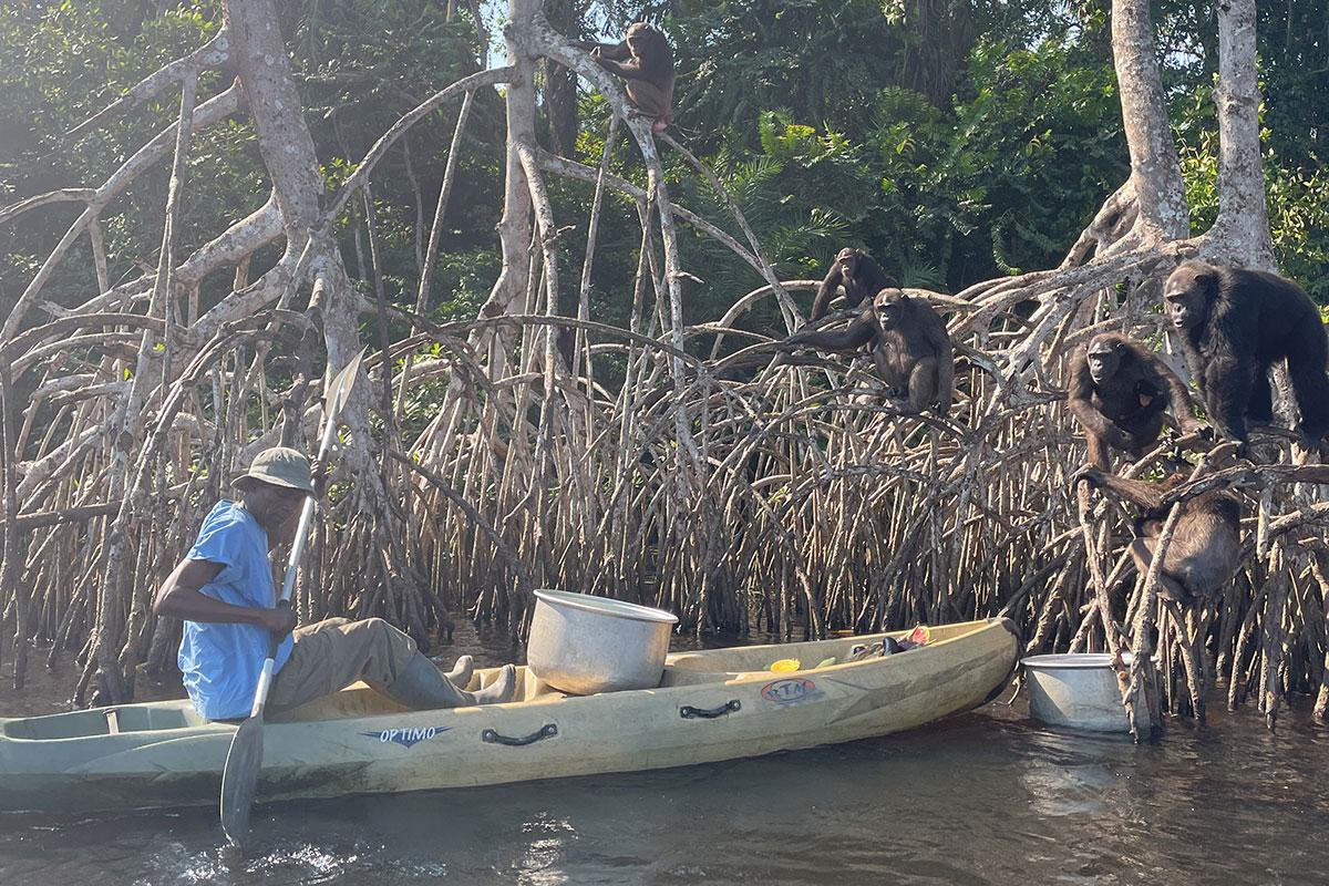 Nourrissage des chimpanzés devant l'île