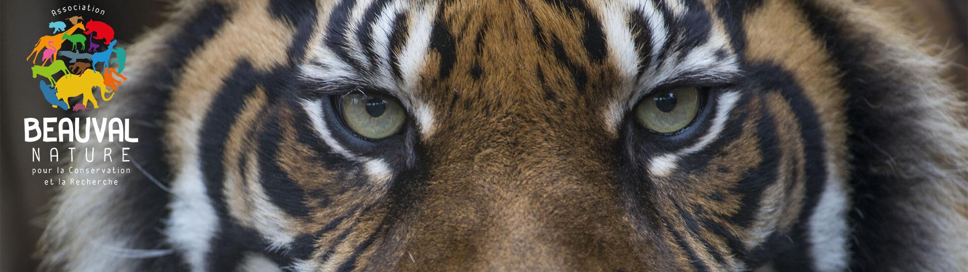 regard tigresse Jambi