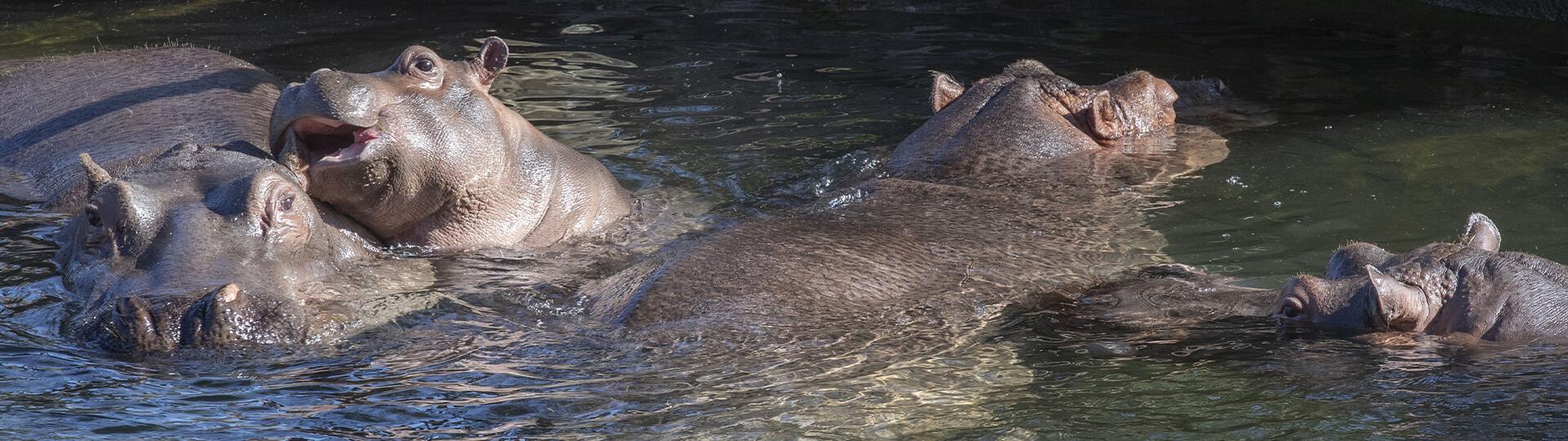 Le groupe d'hippopotames au complet