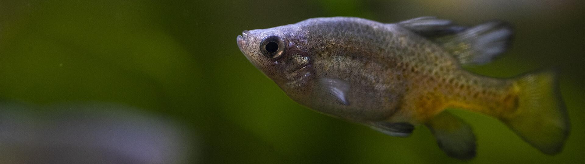 poisson au Dôme Équatorial