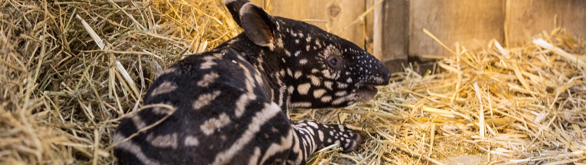 Bébé tapir malais