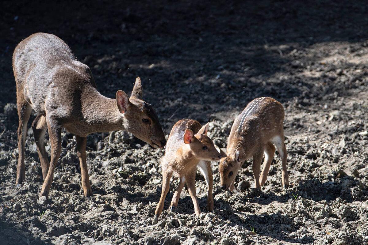 Bébés cerf cochons