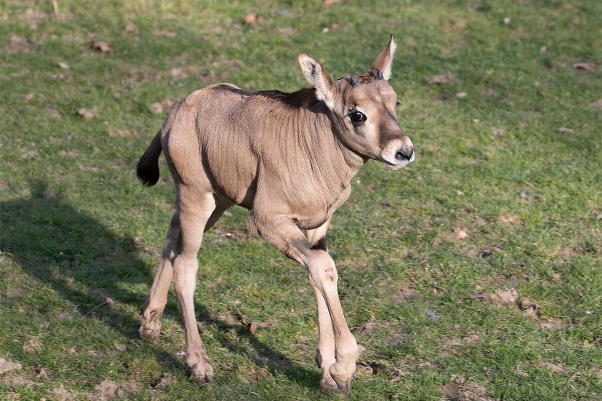 Bébé oryx beïsa