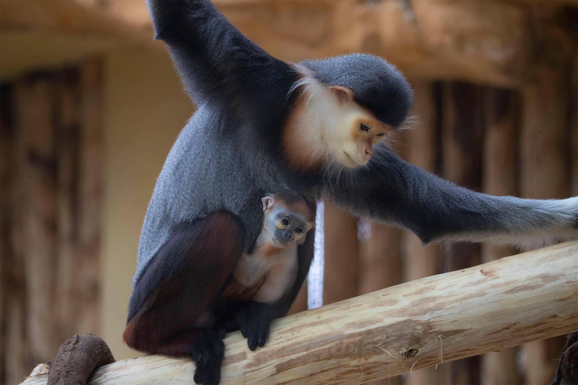 Langur de Douc et son bébé