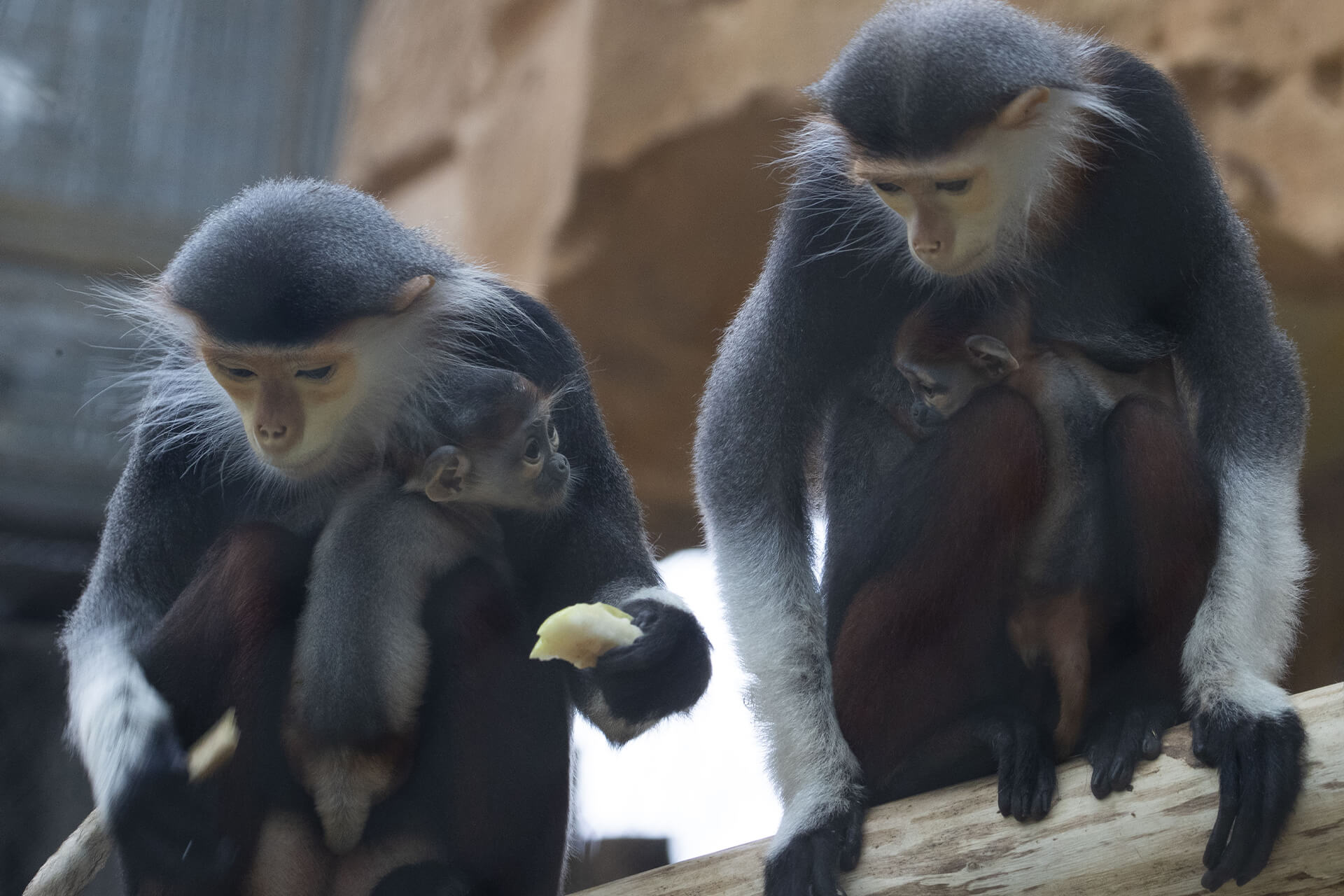 Langurs de Douc et leurs bébés