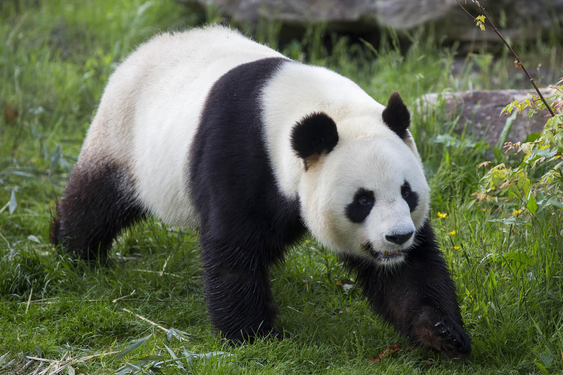 bébé panda en 2021 ?