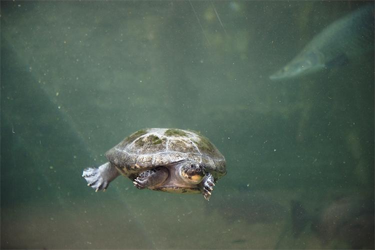 La tortue podocnémide côtoie les lamantins de Beauval