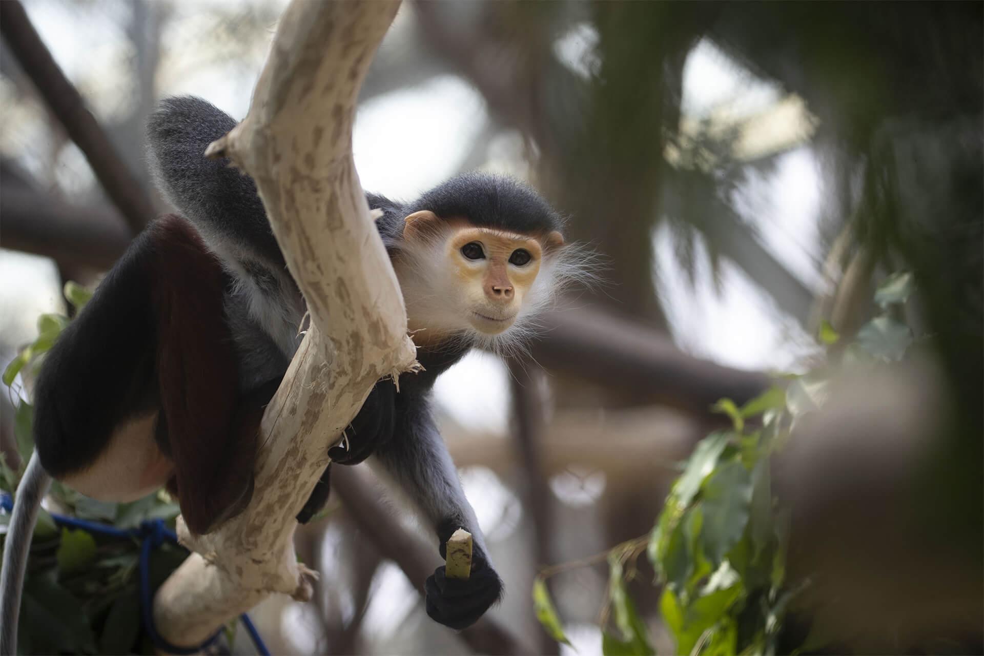Langur de Douc, classé « en danger critique d'extinction » par l'UICN