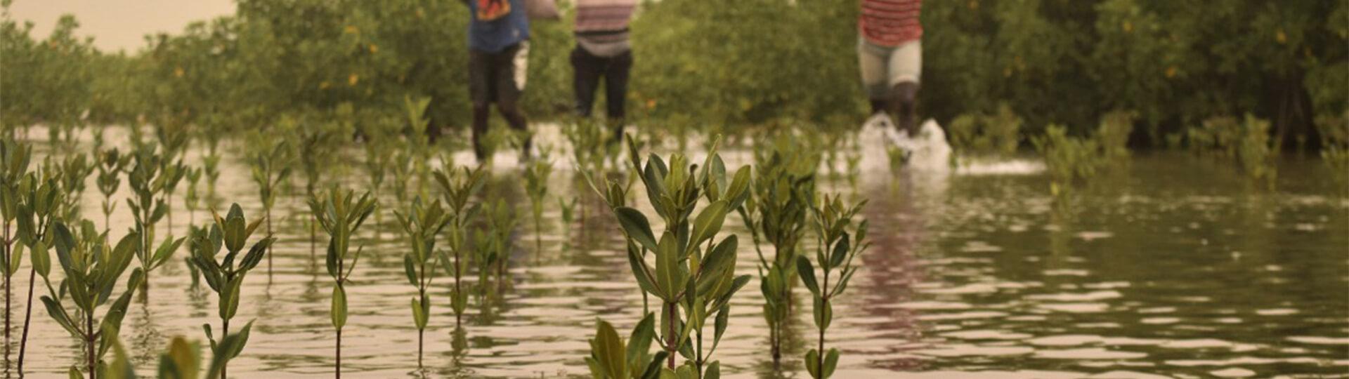 Plantation de mangrove