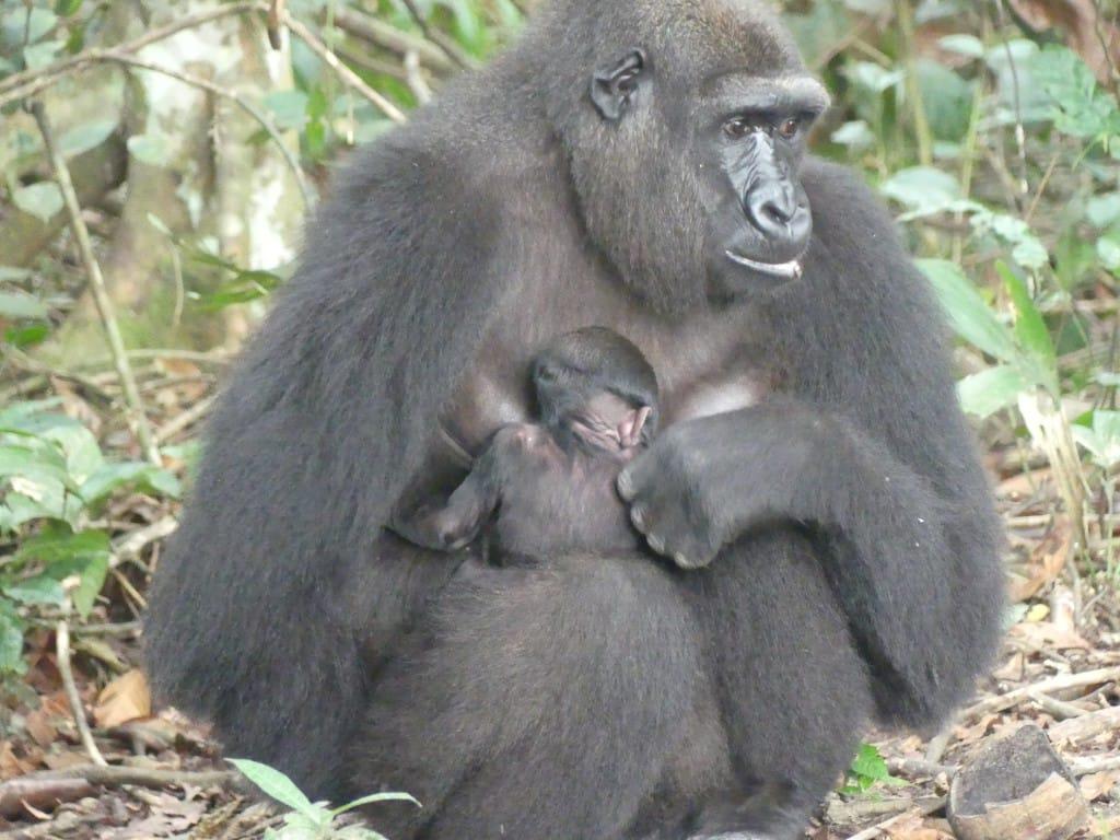 Bébé gorille Mayombe