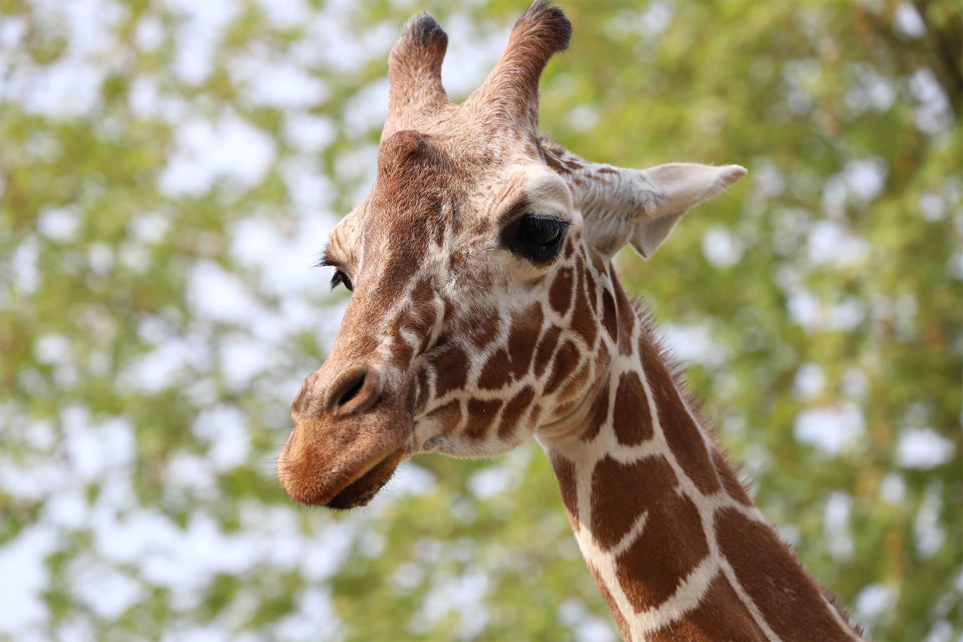 Tête de girafe