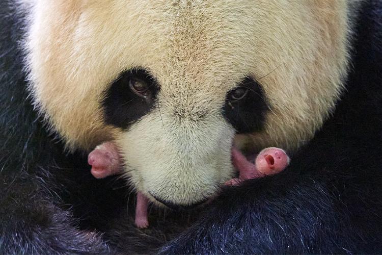 Naissance de DEUX bébés panda