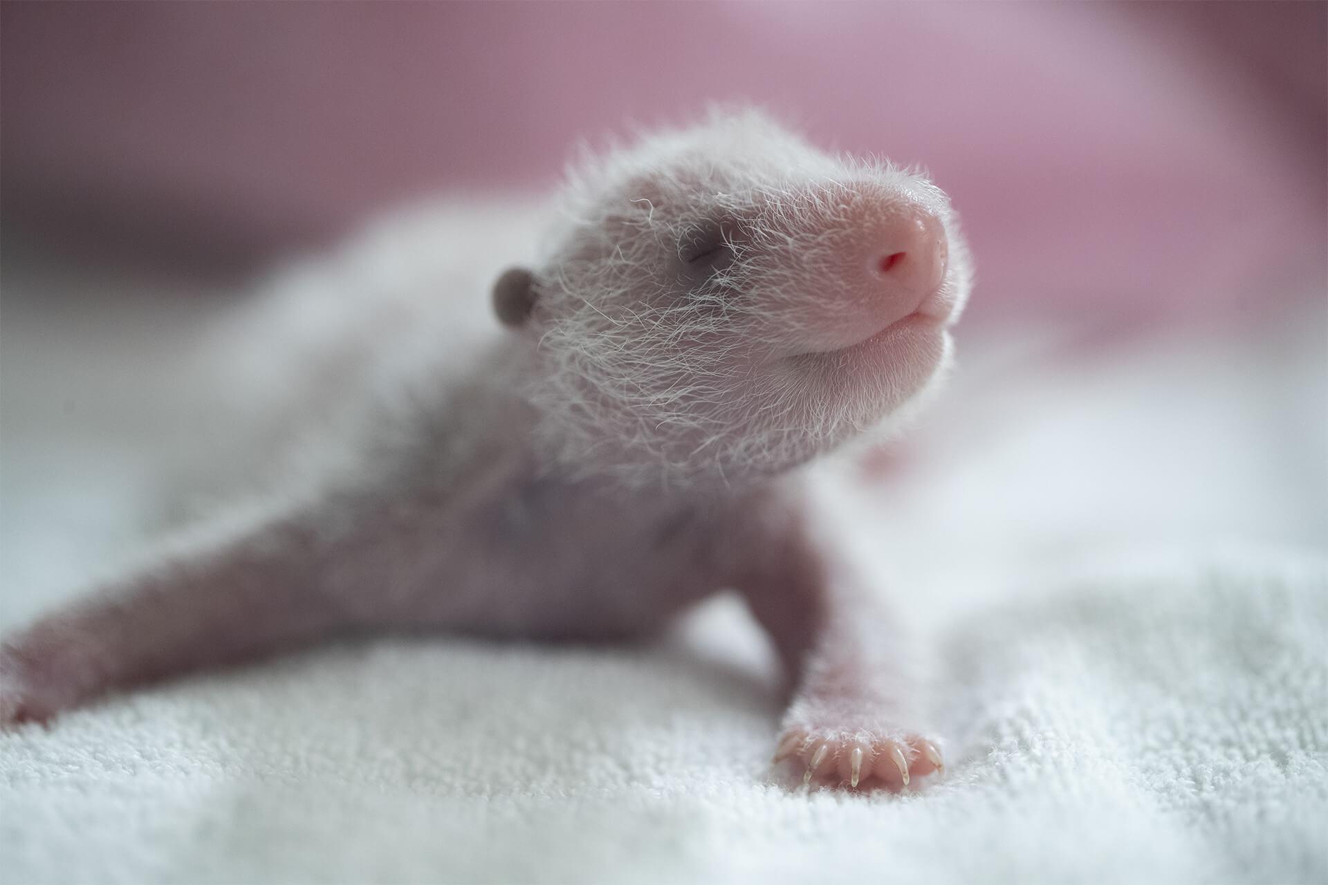 jumelle panda Petite Neige