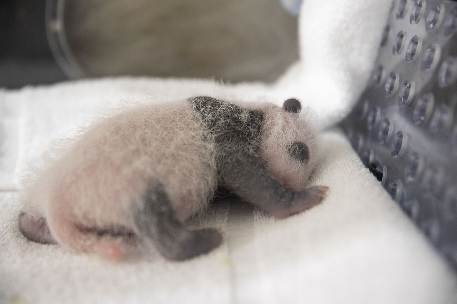 jumelle panda Fleur de Coton