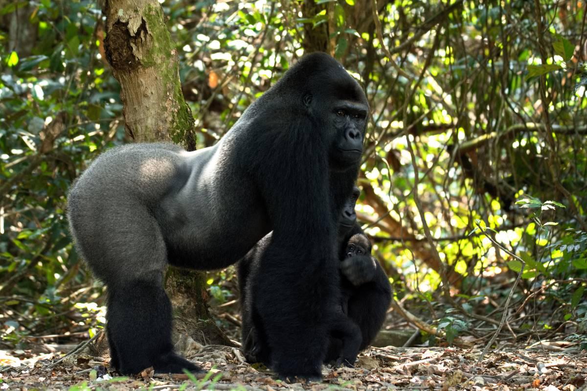 Famille gorilles Gabon