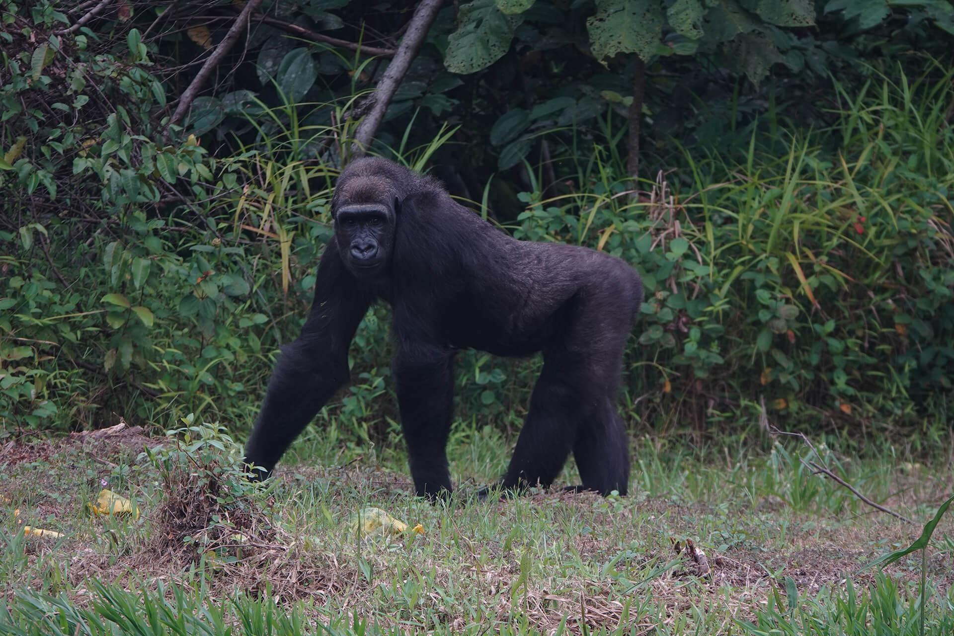 Réintroduction gorilles