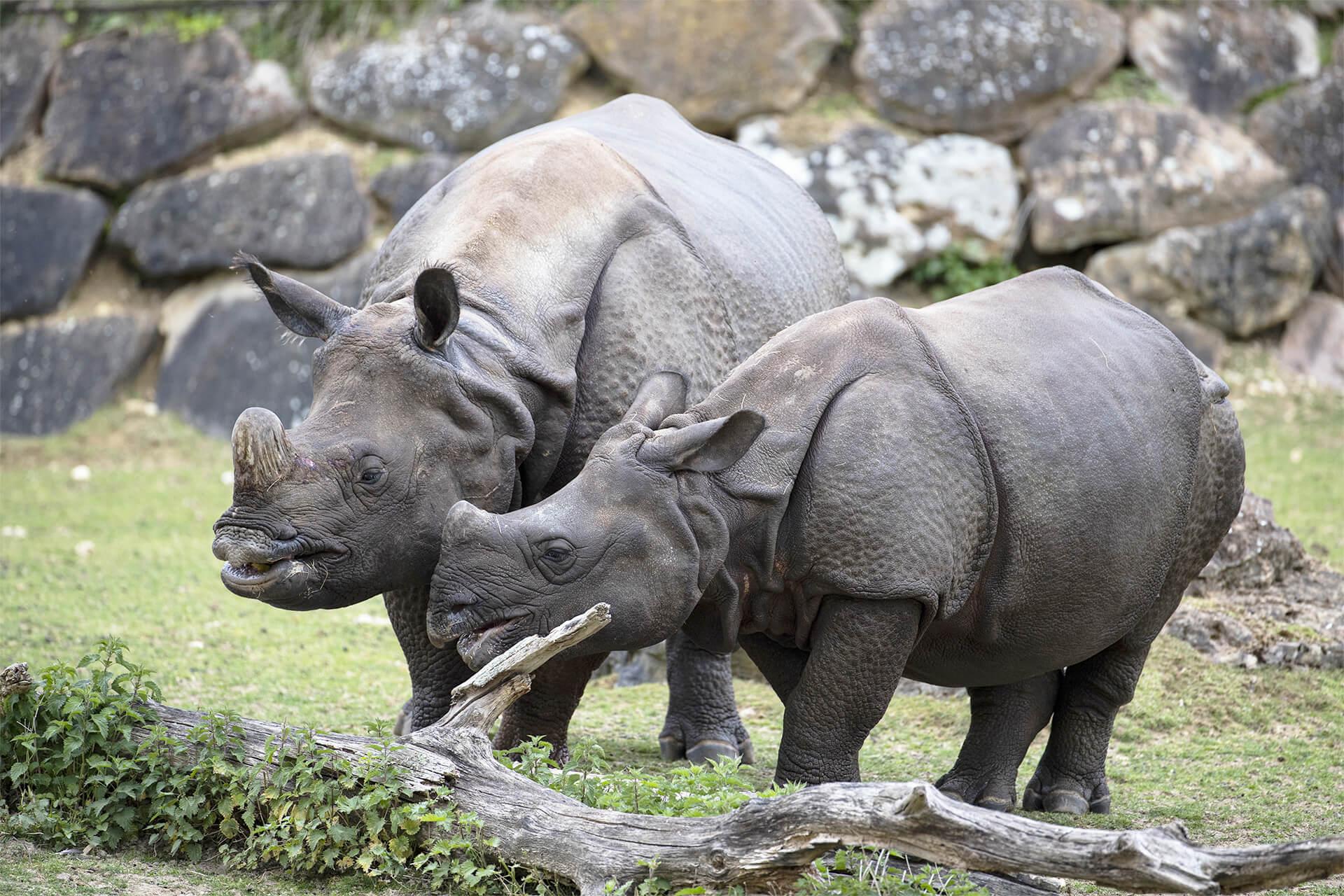 rhinocéros indiens